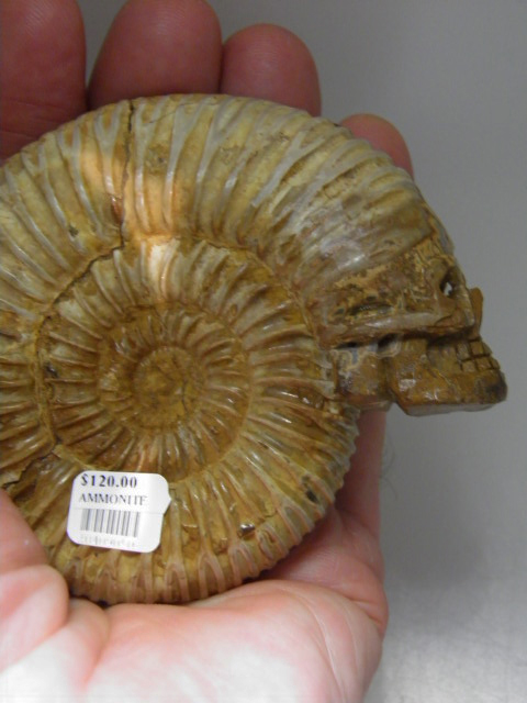 Ammonite fossil skull